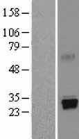NBL1-14841 - Trypsin Lysate