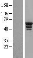 NBL1-17773 - Tryptophanyl tRNA synthetase Lysate