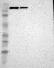 NBP1-92546 - TULP4