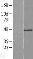 NBL1-17450 - Tuftelin 1 Lysate
