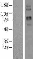 NBL1-17211 - Two pore calcium channel protein 2 Lysate