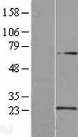NBL1-17492 - U2AF1L4 Lysate