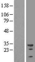 NBL1-17490 - U2AF35 Lysate