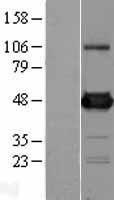 NBL1-07916 - UAP56 Lysate