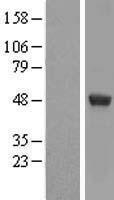 NBL1-07917 - UAP56 Lysate