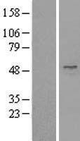 NBL1-17497 - UBA3 Lysate