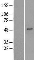 NBL1-17498 - UBA3 Lysate