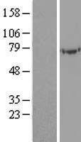 NBL1-17506 - UBASH3A Lysate