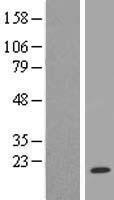 NBL1-17512 - UBE2A Lysate