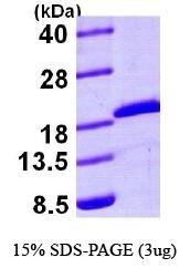 NBP1-44378 - UBE2A / RAD6A