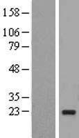 NBL1-17532 - UBE2I Lysate