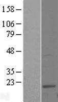 NBL1-17549 - UBE2W Lysate