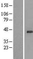 NBL1-17557 - UBL7 Lysate