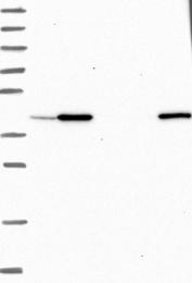 NBP1-85468 - UBLCP1