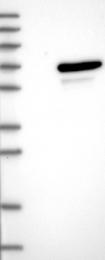 NBP1-81469 - UBOX5 / RNF37