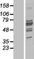 NBL1-17561 - UBP1 Lysate