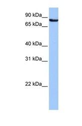 NBP1-54981 - Ubiquilin-3 (UBQLN3)