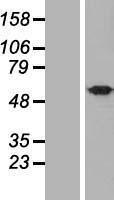 NBL1-17567 - UBQLNL Lysate