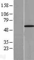 NBL1-17571 - UBXD2 Lysate