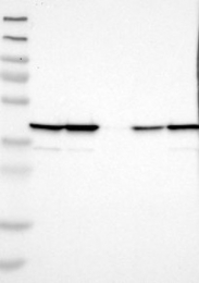 NBP1-89387 - UBXN1 / SAKS1