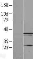 NBL1-12613 - UBXN1 Lysate