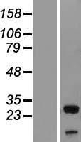 NBL1-17574 - UBXN8 Lysate
