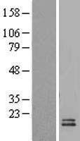 NBL1-08078 - UCMA Lysate