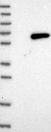 NBP1-90997 - UGDH