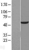 NBL1-17594 - UDP glucose dehydrogenase Lysate