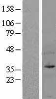 NBL1-17587 - UFD1L Lysate