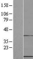 NBL1-17589 - UFM1 Lysate