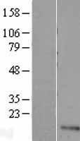 NBL1-17590 - UFSP1 Lysate