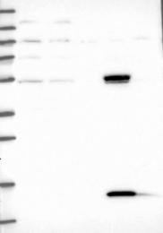 NBP1-86781 - UFSP2 / C4orf20
