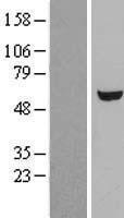 NBL1-17595 - UGP2 Lysate