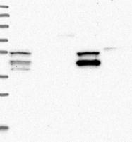 NBP1-81486 - UHRF1BP1L