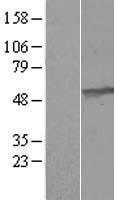 NBL1-17609 - UMPS Lysate