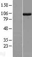 NBL1-17612 - UNC45A Lysate