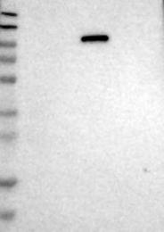 NBP1-84426 - UNC45B