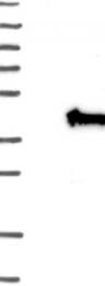 NBP1-80647 - Uridine phosphorylase 2 (UPP2)