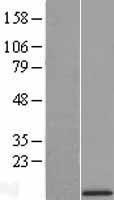 NBL1-17584 - UQCR10 Lysate