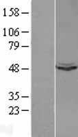 NBL1-17629 - UQCRC1 Lysate