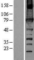 NBL1-10678 - URP2 Lysate