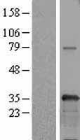 NBL1-17638 - USF1 Lysate