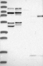 NBP1-85950 - USP1