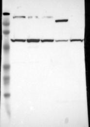 NBP1-86946 - USP14
