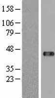 NBL1-17648 - USP18 Lysate