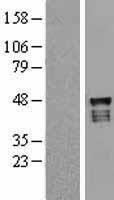 NBL1-17650 - USP2 Lysate