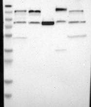 NBP1-82904 - USP28