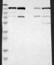 NBP1-82905 - USP28