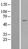 NBL1-17656 - USP30 Lysate